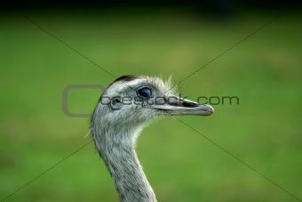 Close up of a  Rhea