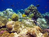 Tropical coral reef in Red sea