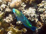 Rusty parrot fish