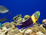 Boomtail wrasse