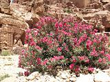 Bush in Petra