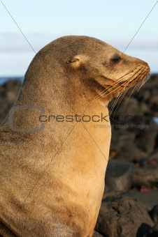 Beautiful Sea Lion