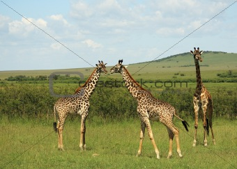 Three African giraffe