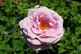Pink Rose Flower