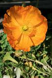 Yellow Poppy Flower