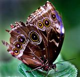 Common Blue Morpho Butterfly on Green Leaf
