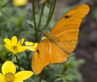 Bright Orange Julia Butterfly On Yellow Flower