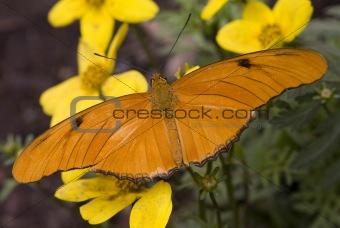 Bright Orange Julia Moth on Yellow Flowers