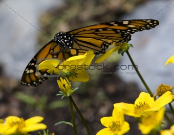 Monarch Butterfly Feasting on Yellow Flower