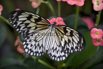 Rice paper Paper or Paper Kite Butterfly on Pink Flowers