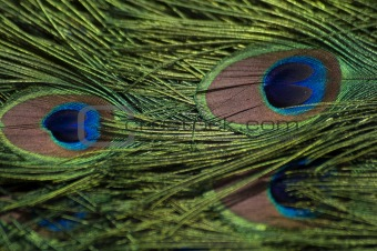 Peacock feathers full frame