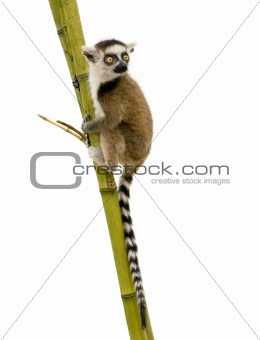 Ring-tailed Lemur (6 weeks) - Lemur catta