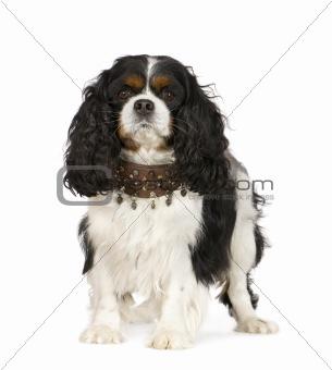 Cavalier King Charles Spaniel (6 years)
