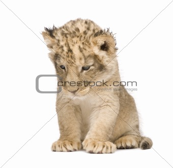 Lion Cub (6 weeks)