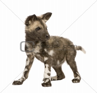 African wild dog cub (9 weeks) - Lycaon pictus