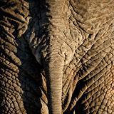 elephant's skin