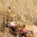 pride of lion eating