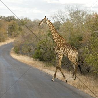 Griraffe crossing the road
