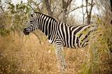 Zebra in the bush