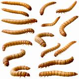 16 Larva of Mealworm - Tenebrio molitor