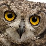Spotted Eagle-owl - Bubo africanus - 8 months