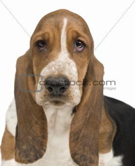 Basset Hound (3 months) - hush puppy