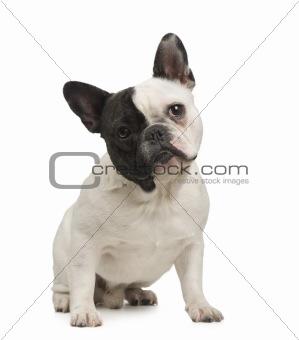 French Bulldog (18 months)