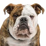 english Bulldog (6 months)