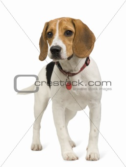 Beagle (8 months)
