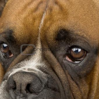 Boxer ()