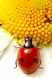ladybug on camomile