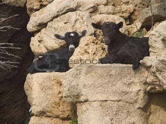 Baby goat rasting