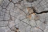 Texture of an old wooden log