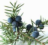 Juniper berries (juniperus communis)