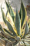 Agave americana striata