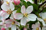 ping apple flower