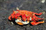 Two crabs mating
