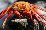 Sally Lightfoot Crab - Deceased