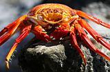Sally Lightfoot Crab - Deceased