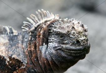 Close Up Marine Iguana