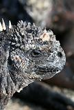 Close Up Marine Iguana