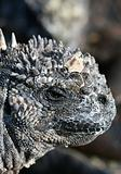 Marine Iguana Head Shot