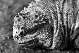 Marine Iguana Black & White