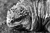 Black & White Marine Iguana