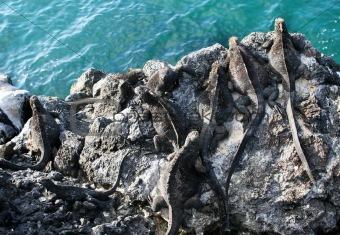 Cliffside Marine Iguanas