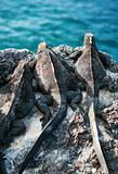Marine Iguanas lookout