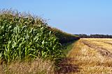 Lush Corn Field