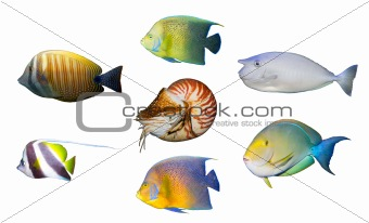 Tropical coral fish angelfish isolated