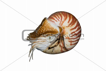 Chambered Nautilus (Nautilus pompilius) isolated on white