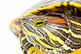 Pseudemys scripta elegans